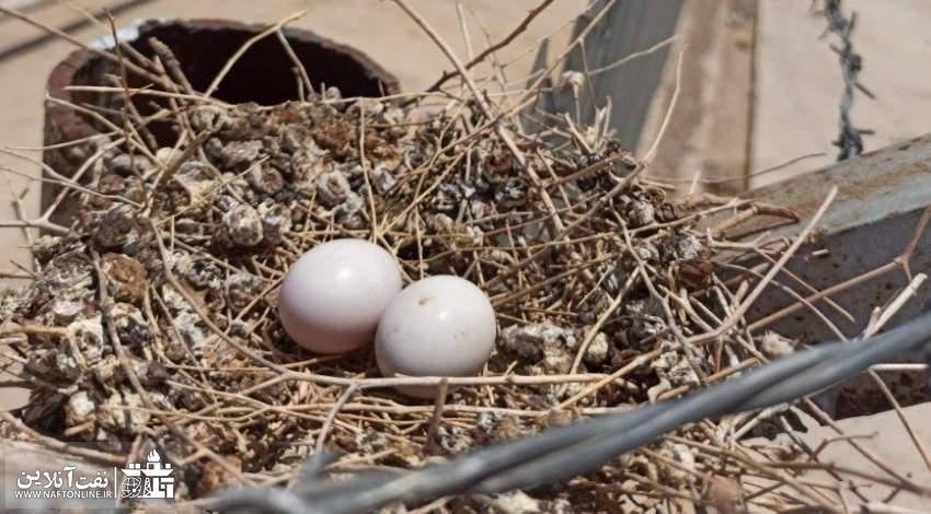 تخم گذاری کبوتر وحشی در یکی از چاههای نفت و گاز | نفت آنلاین
